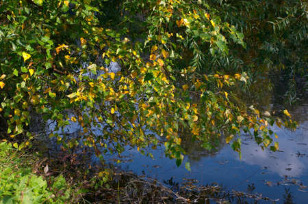 Branch of a birch on coast of lake in autumn solar September day Stock Photo - 587666