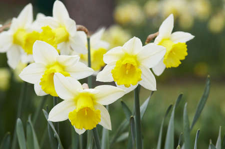 Narcissuses on growing on a bed Stock Photo