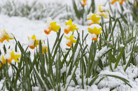 Narcissuses fallen asleep by last snow of leaving winter  Stock Photo