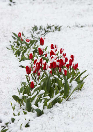 Tulips fallen asleep by last snow of leaving winter