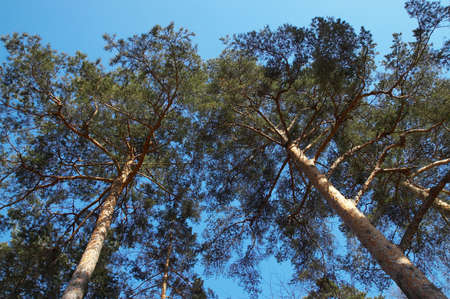Two pines and the blue sky in a sunny day Stock Photo