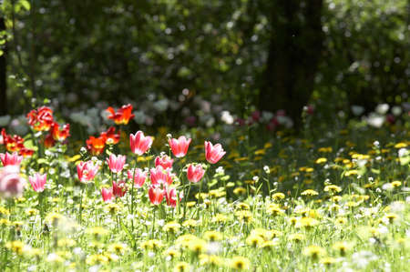 Red and pink tulips on a meadow in the middle of dandelions Stock Photo