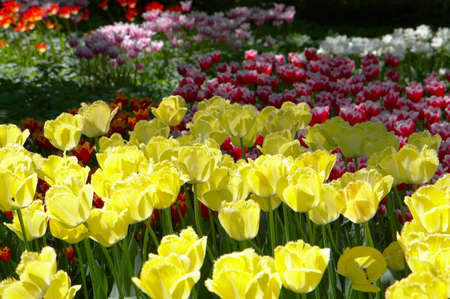 Lawn of yellow and red tulips shined{covered} by the sun