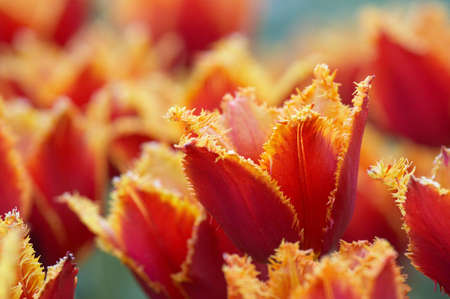 Shaggy Red tulips on a lawn Stock Photo