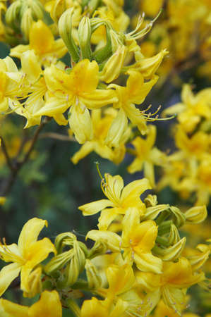 Yellow rhododendron growing in a garden