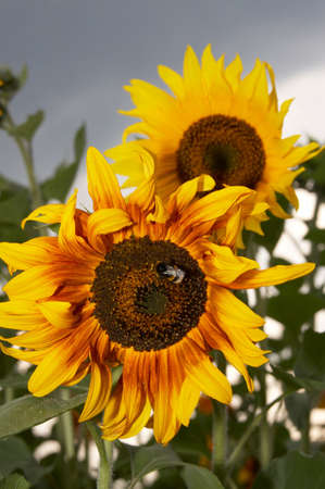 Sunflowers and a bumblebee in a field on a background of the cloudy sky  Stock Photo