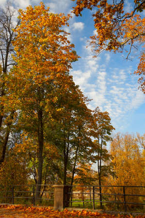Maples with yellow leaves and the blue sky with clouds in park Stock Photo