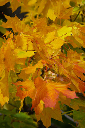 Yellow with red leaves of a maple on a branch in the autumn Stock Photo