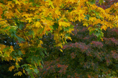 Branch of a maple with yellow leaves and a tree with red leaves in a distance Stock Photo