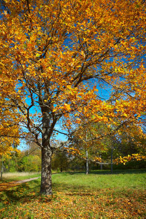 Oak with yellow leaves on a glade in an autumn sunny day