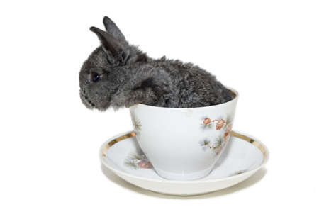 grey small rabbit sitting in the white cup. isolated on white photo