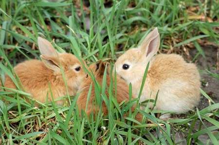 furskin: three small rabbits sitting snout ahead each other