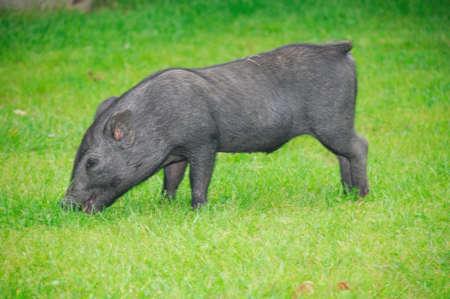 little black piglet photo