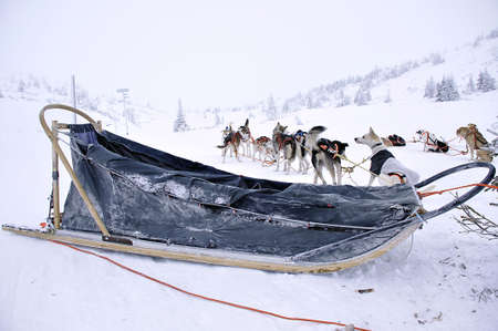 lead sled: Swedish sled dogs awating their turn to race Stock Photo