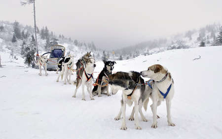 Swedish sled dogs awating their turn to race Stock Photo
