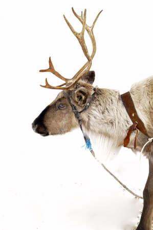 sweden winter: Reindeer in natural environment in scandinavia