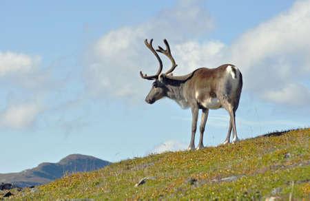 Reindeer in natural environment in Scandinavia