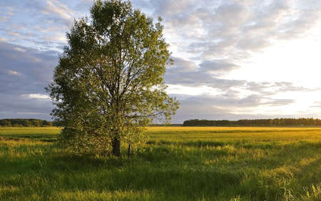 Grassland at sunset and lonely tree photo