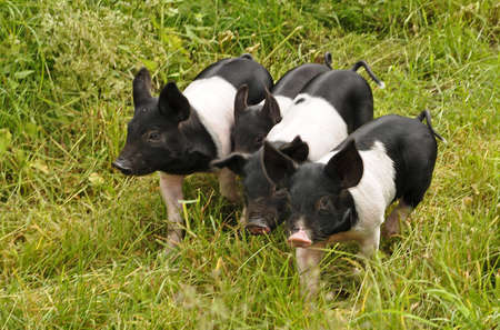 pig farm: Happy pig on green grass Stock Photo