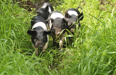 Happy pig on green grass photo