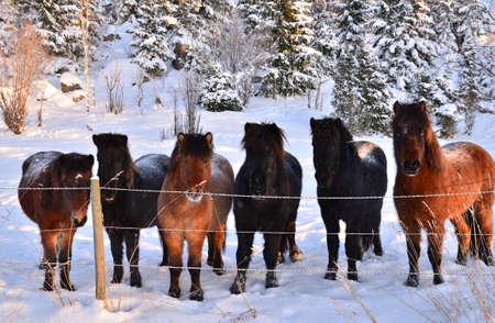 Icelandic horse in winter photo