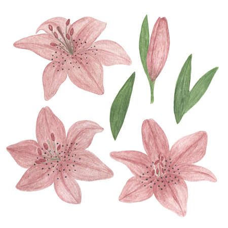 Delicate dusky pink lily flowers set hand drawn watercolor illustration garden plant simple drawing for greeting cards, invitations, textile 免版税图像