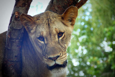 Muzzle of friend who is also a lioness