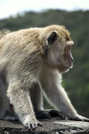 Big macaque