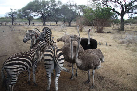 Zebras and ostriches Stock Photo