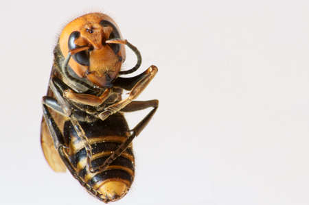 Japanese giant hornet, killer bee                  photo