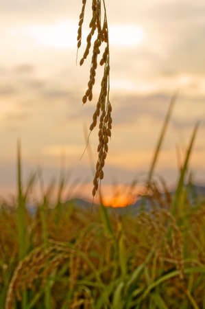 rice ear at autumn evening Stock Photo - 12855304