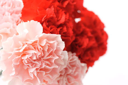 carnation                      Stock Photo - 13484461