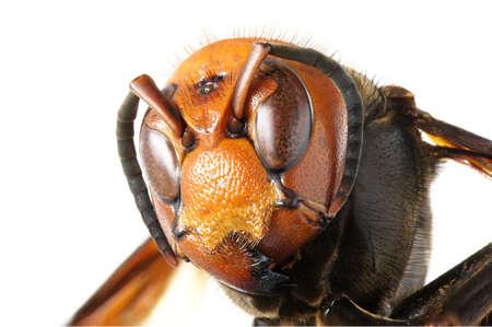 オオスズメバチ 写真素材