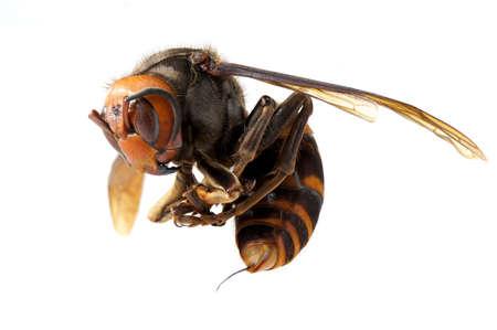 日本の巨大なスズメバチの女王