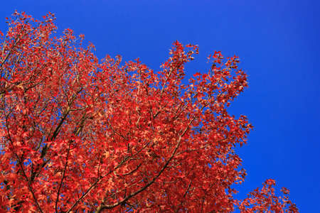 formosa: Red Formosa Sweetgum