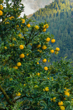 Yuzu: Citrus junos is a kind of Japanese citrus Banco de Imagens