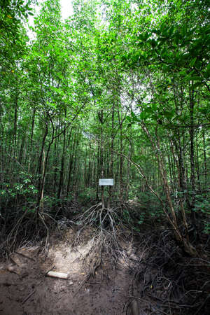 mangrove forest: The mangrove forest , Ranong, Thailand