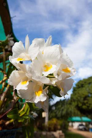 orchidaceae: Dendrobium formosum, Orchidaceae,in Garden, Ranong Thailand