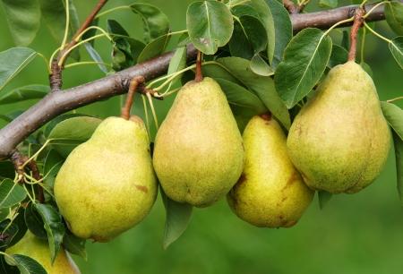pera: Cuatro Peras Deliciosas