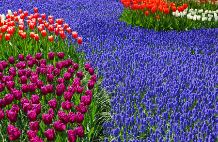 Colorful flowers with tulips in the garden