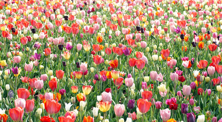 Tulips in the Garden - beautiful flower background