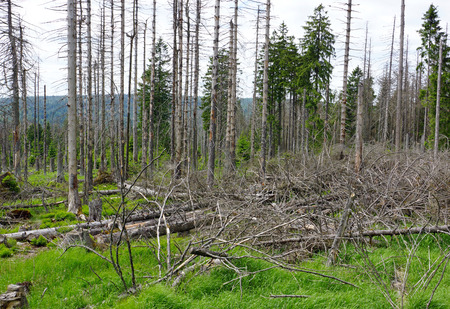 Forest dieback - dead spruce on mountain