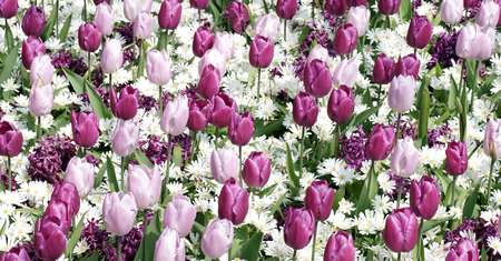 Colorful pink and purple tulips in the garden