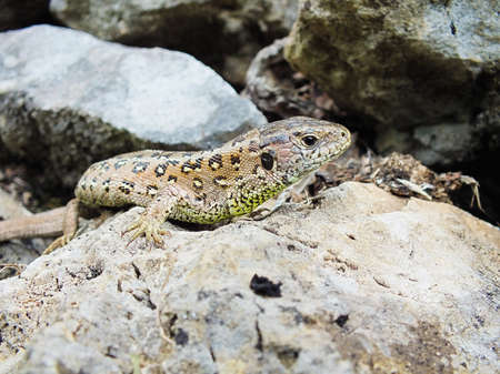 Sand lizard Stock Photo