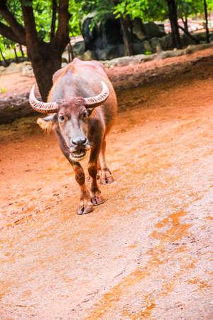 Buffalo is walking and eating
