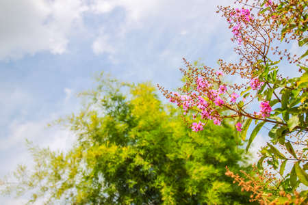 Pink flower , Tree and Blue Sky