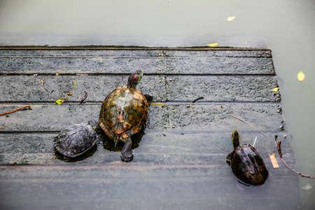 Arrogant turtle is walking to the river 版權商用圖片