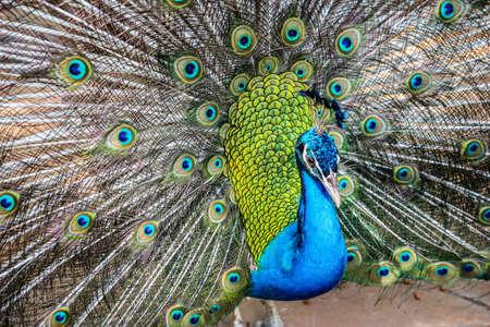 Elegant Peacock 版權商用圖片