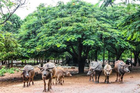 Group of Buffalo under the tree 版權商用圖片
