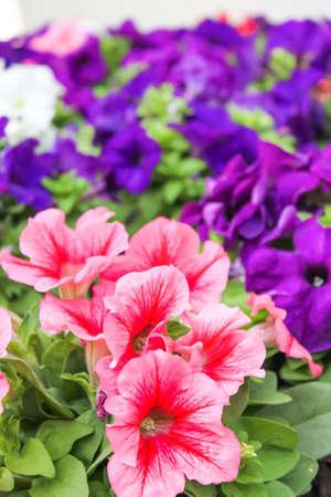 Red and purple flower in garden